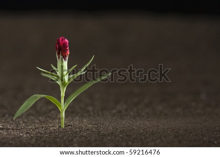 A young red flower growing out of brown soil. - stock photo