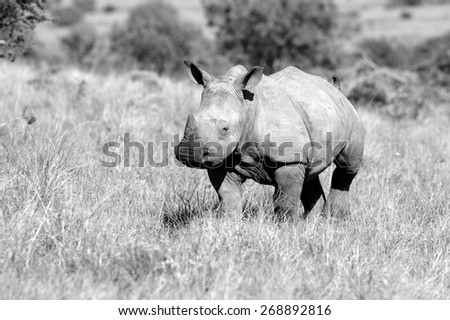 A young rhino / rhinoceros in this black and white image - stock photo