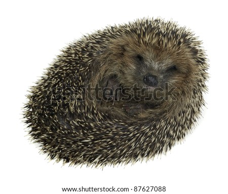a young rolled-up hedgehog. Studio photography in white back