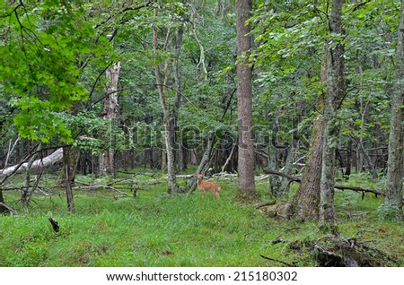 A young sika deer in summer taiga. - stock photo