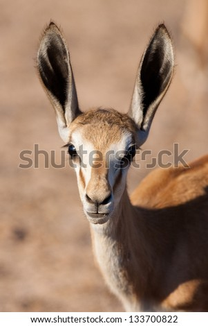 A young springbok with over-sized ears