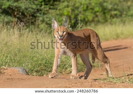 A young sub adult Caracal (Felis caracal) in South Africa, Kruger Park - stock photo