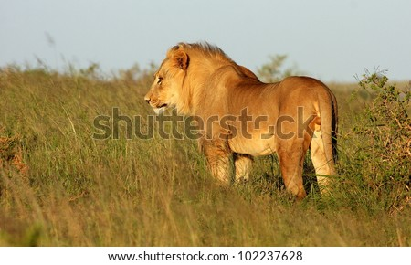 A young sub adult male tawny lion standing in a side on pose in this portrait taken at a low angle in Addo elephant national park,Eastern Cape,South Africa