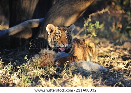 A young tiger having its well-deserved feast  - stock photo