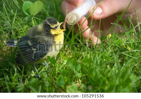 a young tit fed with an earthworm by a person - stock photo