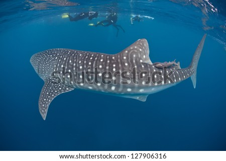 A young whale shark (Rhincodon typus) cruises through the tropical waters of the Caribbean Sea.  This species is the largest living fish on Earth and is listed as vulnerable by the IUCN.