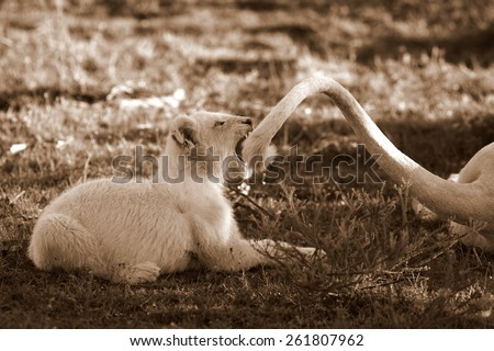 A young white lion cub bites his moms tail while playing and learning - stock photo