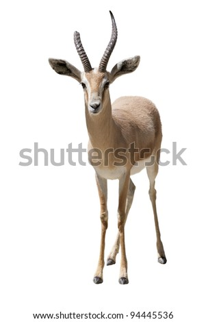 a young woman with huge horns gazella - stock photo