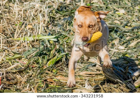 A young yellow Labrador retriever runs though a corn field with an ear of corn.