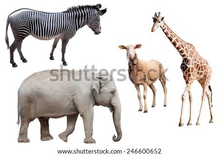 A Zebra, Elephant, Sheep and Giraffe Isolated  - stock photo