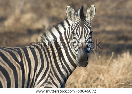 A zebra faces the photographer during the African winter
