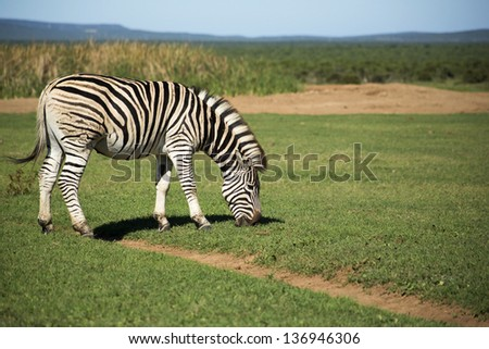 A zebra grazing in the wild