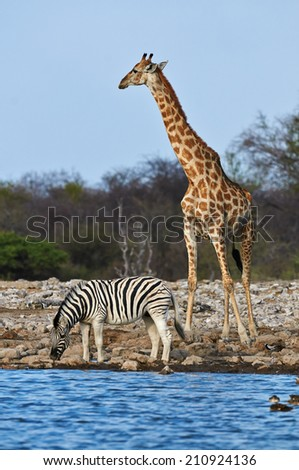 A zebra is drinking while a giraffe looking around in a waterhole in Etosha National Park in Namibia - stock photo