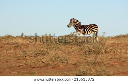 A zebra isolated in an open field in this image. - stock photo