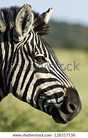 A zebra profile in afternoon light.