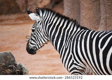 A zebra standing in profile, looking left - stock photo