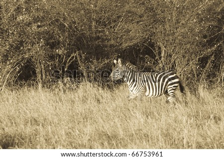 A zebra walks the plains of the Masai Mara during the Great Migration (sepia). - stock photo