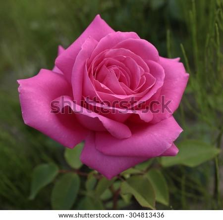 Aachener Dom Hybrid Tea Rose - stock photo