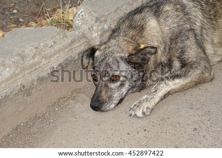 Abandoned homeless stray dog on the street with a chip in the ear - stock photo
