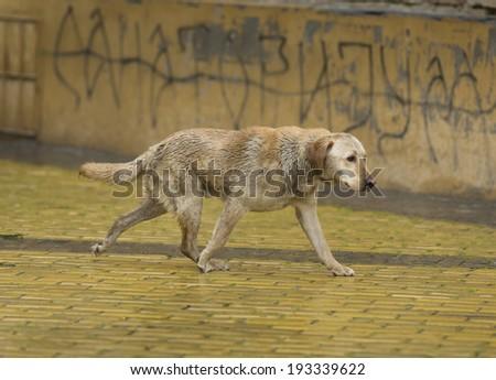 Abandoned wet dog walking down the street on rainy day - stock photo