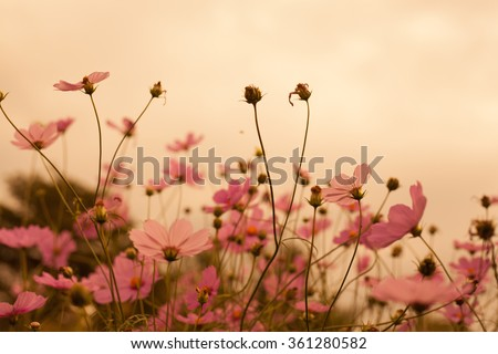 Abatract. Sweet color cosmos flowers in the bokeh texture soft blur with pastel tone for background