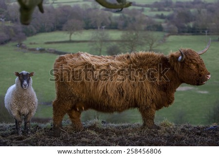 Aberdeen Angus cow and sheep,derbyshire,uk