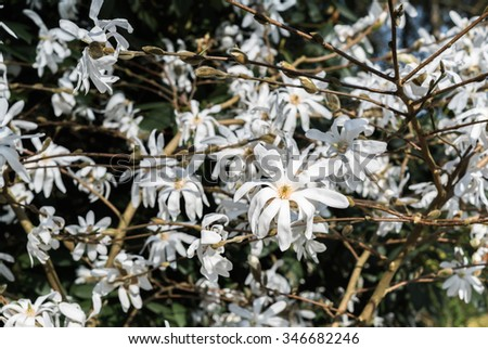 Abloom white star magnolia closeup blossoming flowers dark vintage background.  Japanese tree magnolia stellata branches with white petals in springtime garden area. Family Magnoliaceae - stock photo