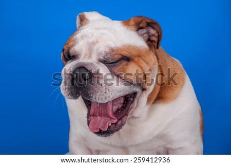 Abordable english bulldog yawning on blue backgroud - stock photo