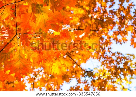 Abstract autumn background, old orange leaves, dry tree foliage, soft focus, autumnal season, changing of nature, bright sunlight - stock photo