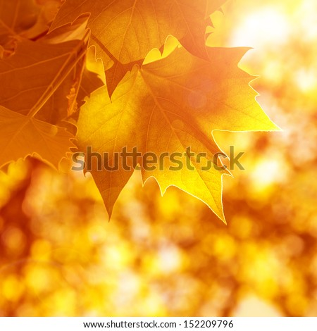 Abstract autumn background, old orange maple leaves, dry tree foliage, soft focus, autumnal season, changing of nature, bright sunlight  - stock photo