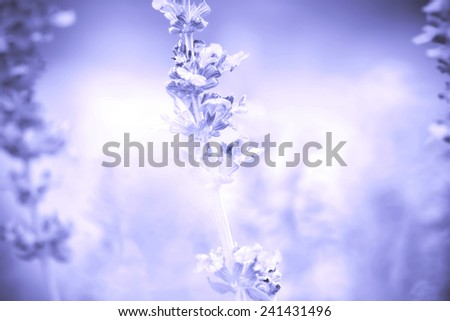 abstract background from close up Sage plant (lat. Salvia Officinalis) - stock photo
