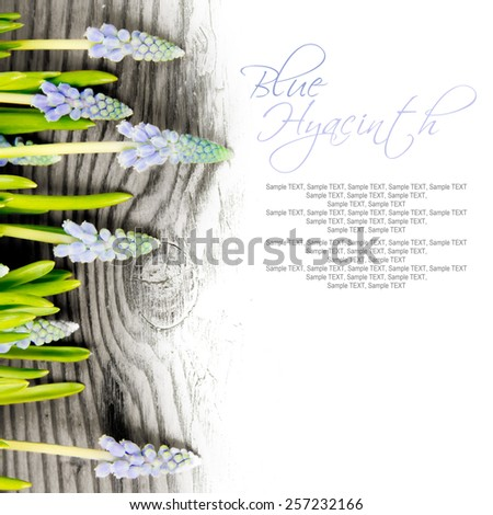 Abstract background made of Blue hyacinths with white space for text - stock photo