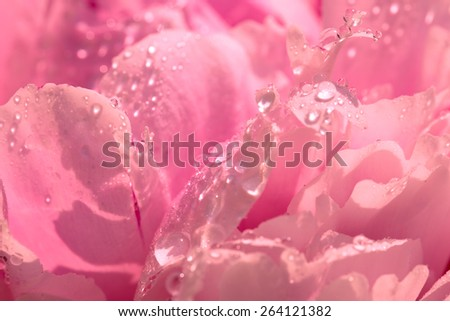 Abstract background of water drops and flower petals of peony, pink with warm toning and displacement of the soft focus. - stock photo