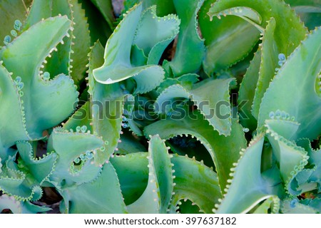 Abstract background pattern of green leaves image form kalanchoe pinnata plant or Mother-of-Thousands Plant, : close up. select focus with shallow depth of field. - stock photo