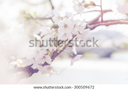 Abstract background soft focus of white wild Himalayan, vintage color cherry blossom - stock photo