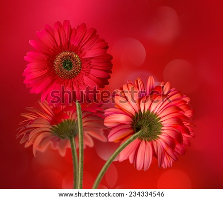 abstract background with beautiful red gerbera flowers - stock photo