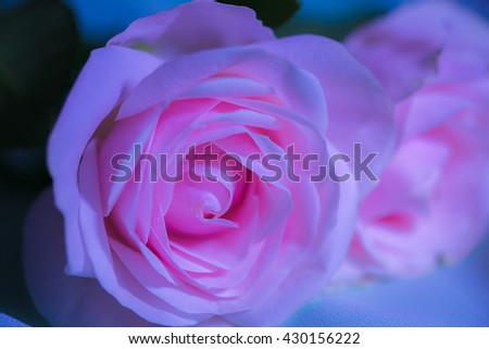 Abstract beautiful pink roses on a soft background with shallow depth of field and focus the centre of rose flower in filter color - stock photo