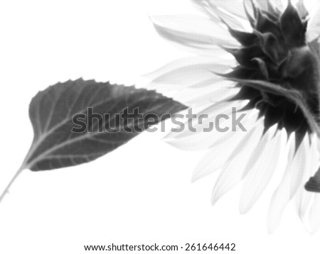 Abstract black and white sunflower background with blur and texture effect.