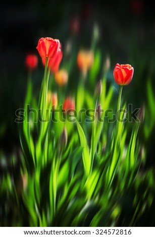 Abstract blurred flowers. Intentional motion blur. Group of red tulips in a bright sunny day in the garden - stock photo