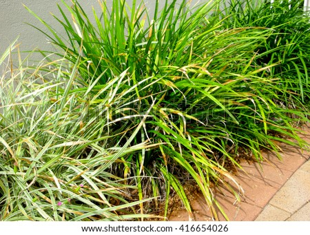 Abstract Close Up Detail Lily Turf (Liriope muscari - green and variegated) - stock photo