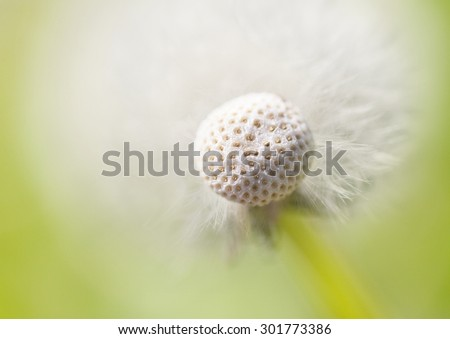 Abstract Dandelion background, extreme closeup with soft focus - stock photo