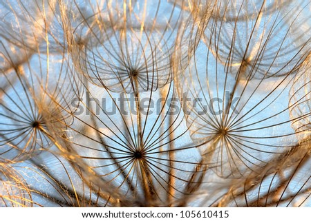Abstract dandelion flower background, beautiful nature details.