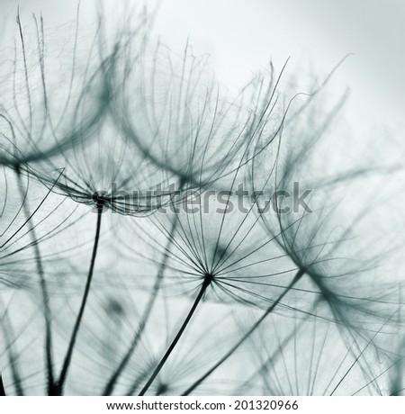 Abstract dandelion flower background, extreme closeup. Big dandelion. Art photography  - stock photo