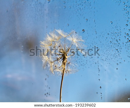 abstract dandelion flower background, extreme closeup with soft focus and light effect, beautiful nature details. Art photography with light bookeh