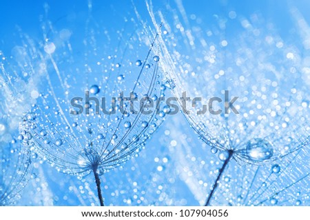 abstract dandelion flower seeds with water drops background - stock photo