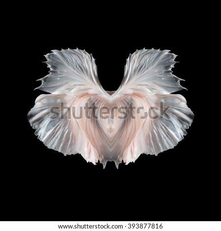 Abstract fine art fish tail free form of Betta fish or Siamese fighting fish isolated on black background. - stock photo