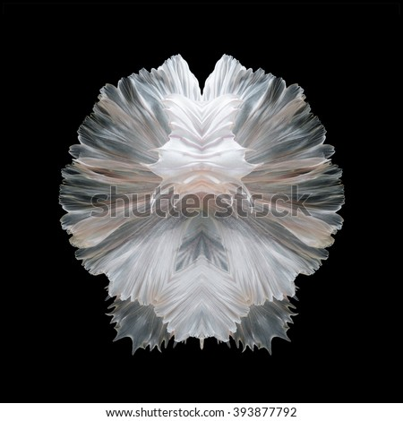 Abstract fine art of moving fish tail of Betta fish or Siamese fighting fish isolated on black background. - stock photo