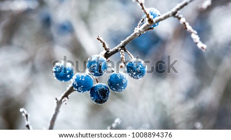 Abstract frozen twig with blackthorn berry