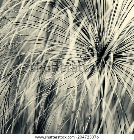 Abstract grass papyrus in black and white - stock photo