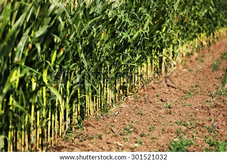 Abstract image of a corn field - stock photo